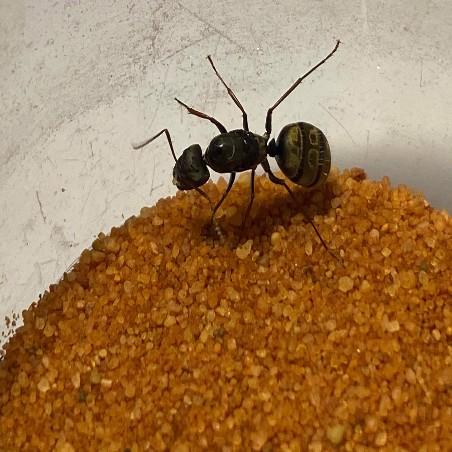 Colonie Aphaenogaster subterranea
