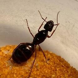 Camponotus nylanderi