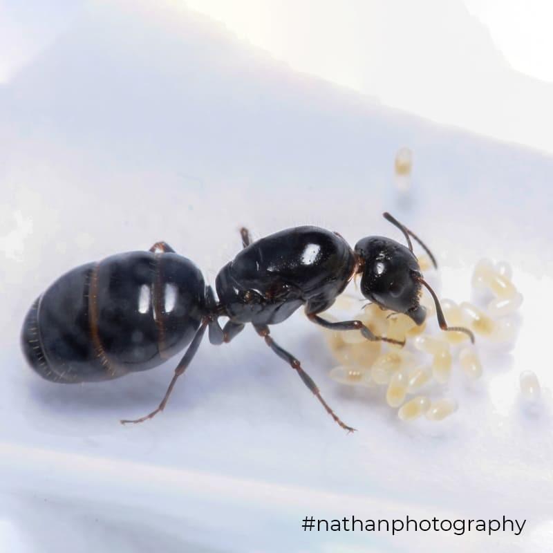 Camponotus piceus 2020