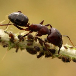 Camponotus Sylvaticus