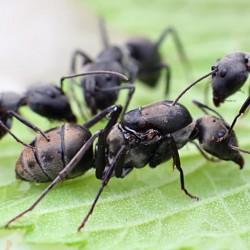 Camponotus dolendus 2020