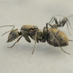 Camponotus pseudolendus 2020