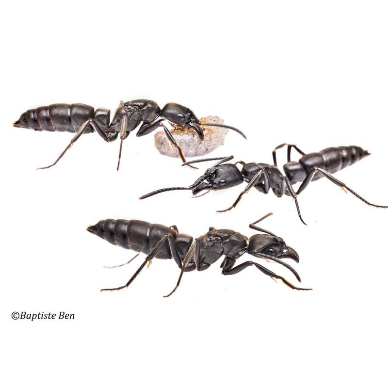 Camponotus maculatus