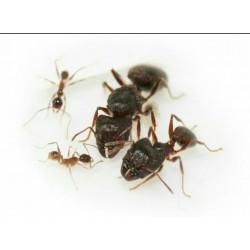Camponotus fallax 2020