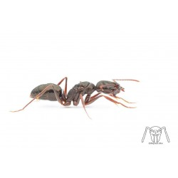 Odontomachus affinis