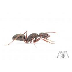 Odontomachus sp small