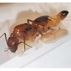 Camponotus baldacii