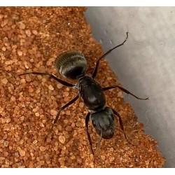 Camponotus arboreus