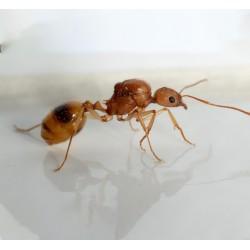 Aphaenogaster splendida