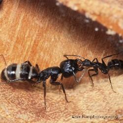 Camponotus vagus 2020